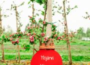 Ylöjärvi sai oman nimikko-omenapuun Ahvenanmaalta 100-vuotisjuhlan kunniaksi